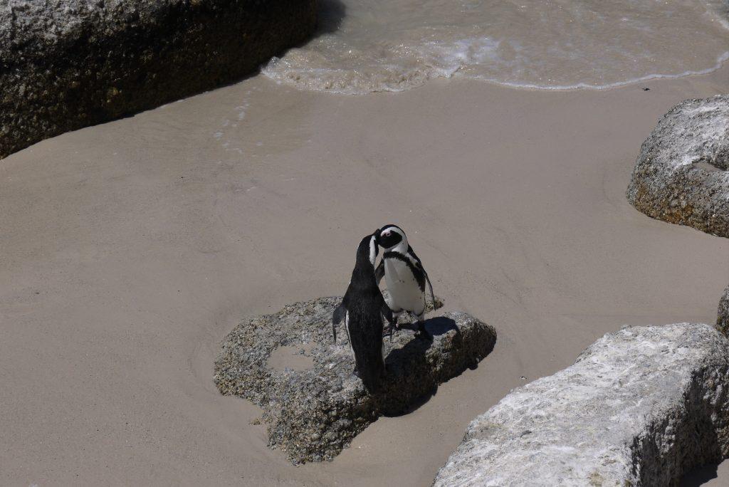 pingviinipariskunta Boulders Beachilla