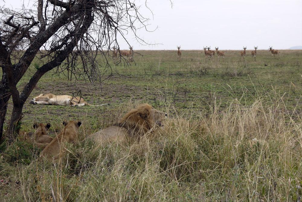leijonia Serengetissä