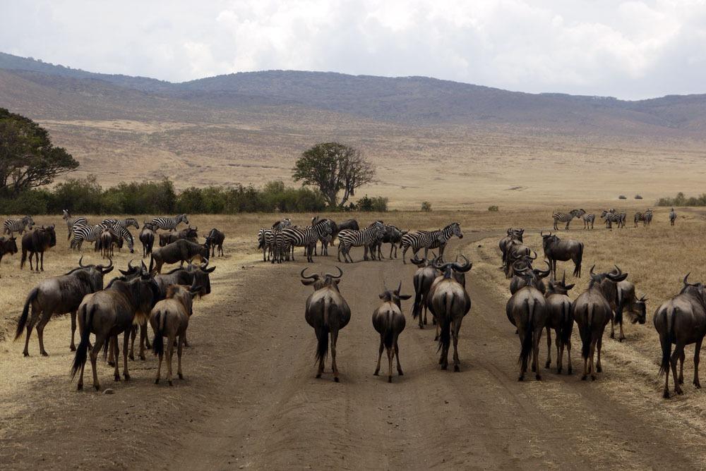 gnuita ja seeproja Ngorongoron kraaterissa tiellä