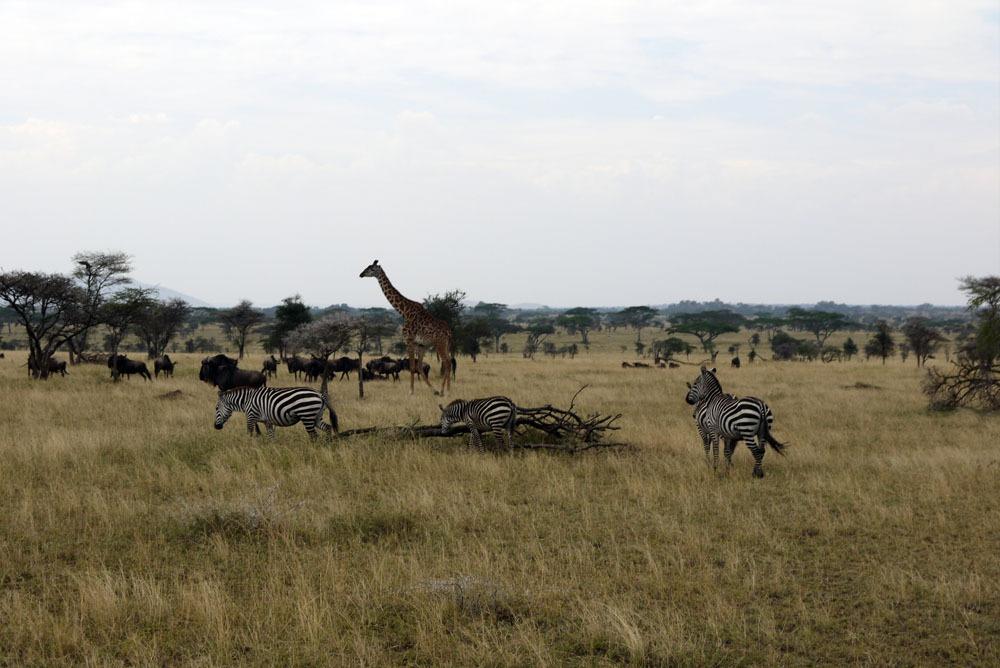 eläimiä Serengetissä