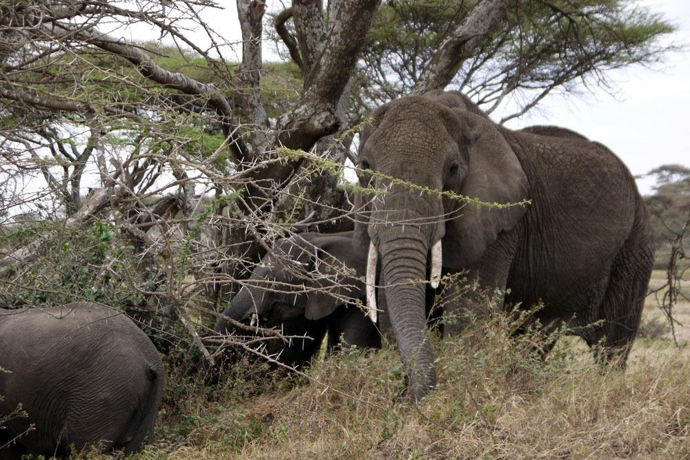 äitinorsu Serengetissä
