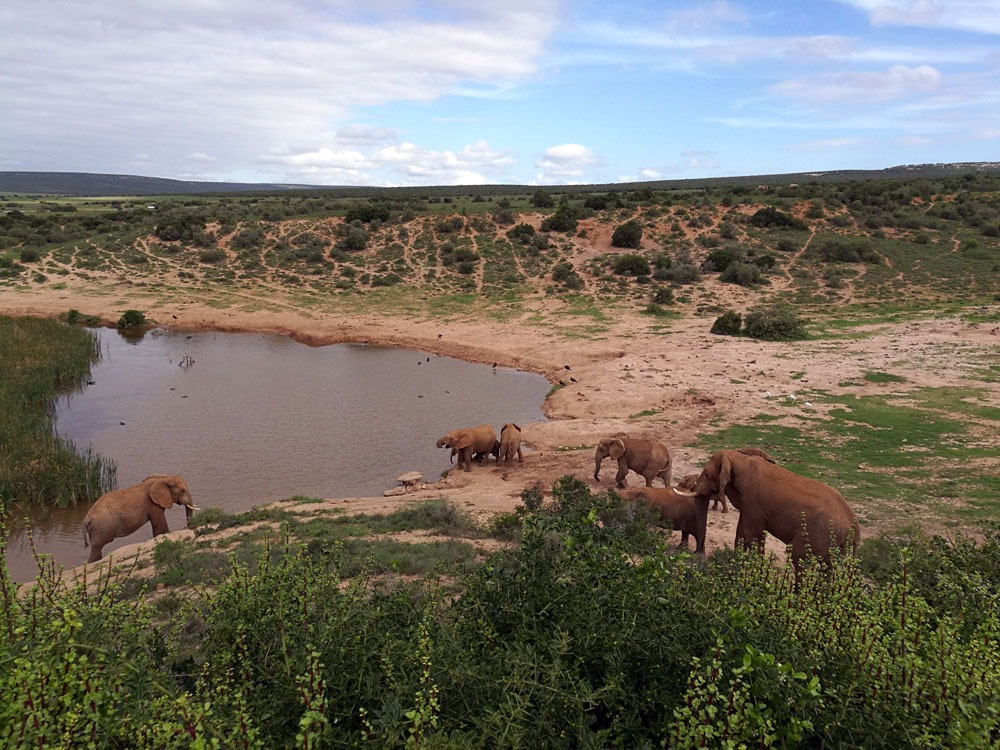 norsuja juomapaikalla Addon kansallispuistossa