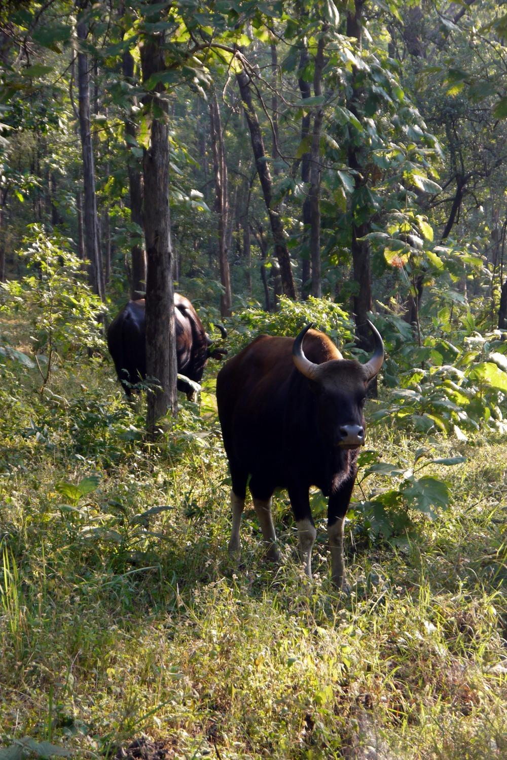 Härkä Satpuran kansallispuistossa Intiassa