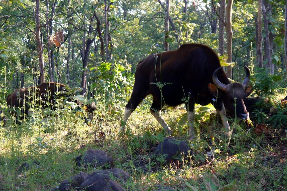 Härkä Intian safarilla