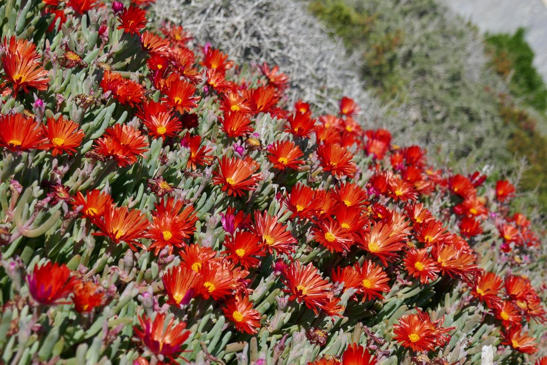 kukkia Tabarcan saarella