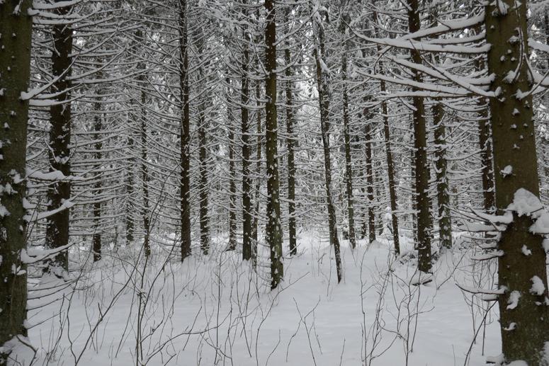 Paloheinän metsän lumen peittämät kuusenoksat