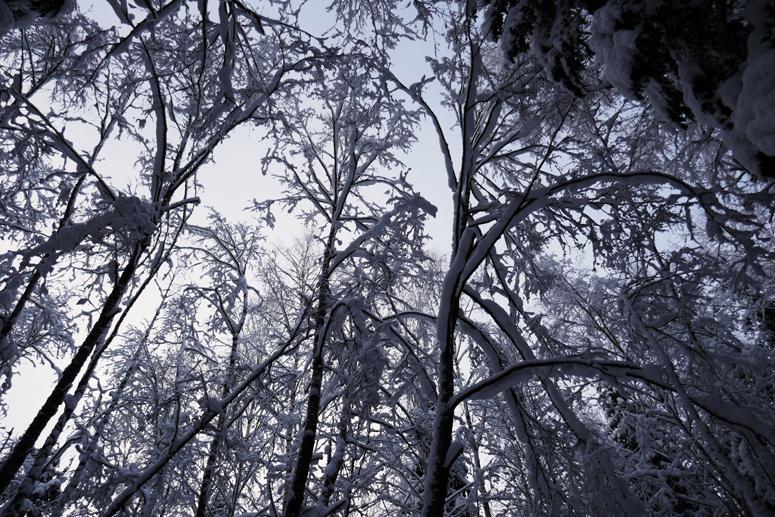 kauniit puut Paloheinän metsässä