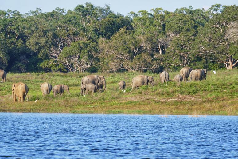 Norsulauma Gal Oyan kanssallispuistossa Sri Lankassa