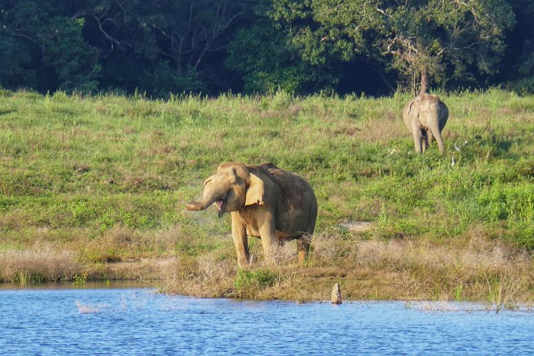 juova norsu gal Oyan kansallispuistossa Sri Lankassa
