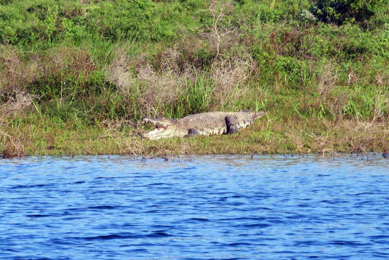 krokotiili Gal Oyan kansallispuistossa Sri Lankassa