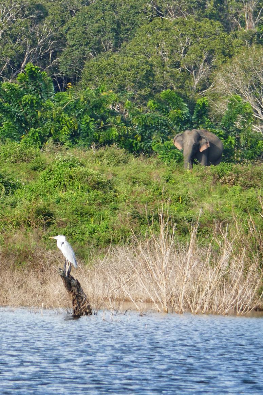 lintu ja norsu Gal Oyan kansallispuistossa Sri Lankassa