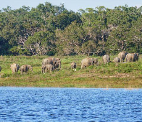 Norsuja Gal Oyan kansallispuistossa Sri Lankassa