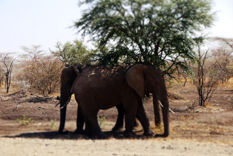 Norsut vilvoittelevat puun alla Tansaniassa.