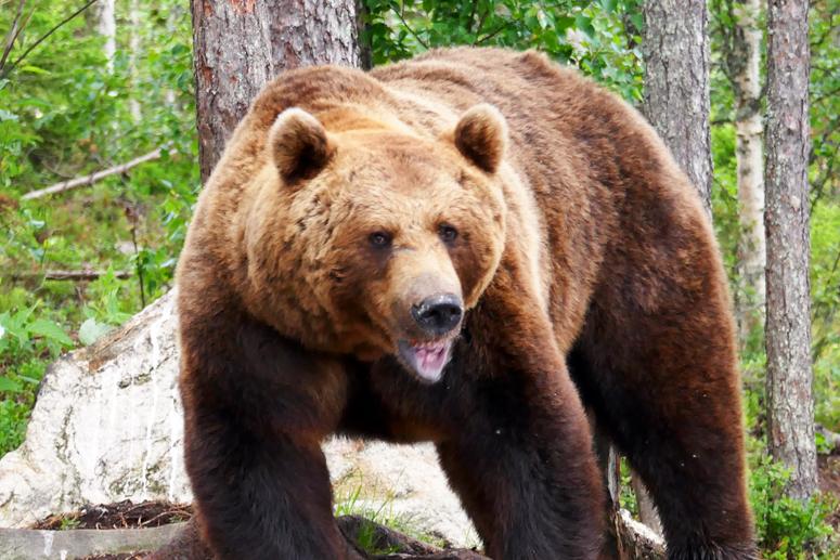 karhu Hossassa karhujenkatselukojulla