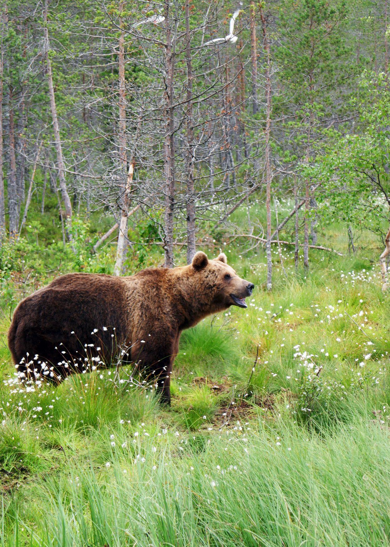 karhu Hossassa