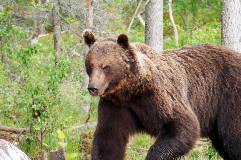 uroskarhu karhujenkatselukojulla