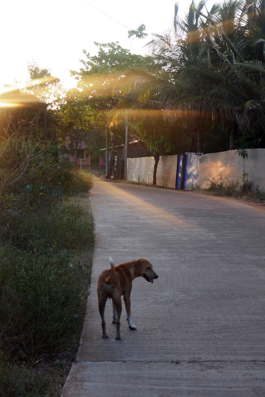 Kapi-koira Kalpitiyassa