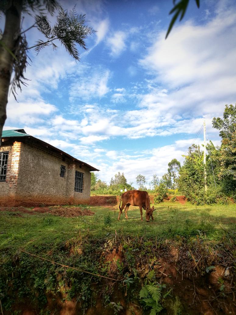 lehmä kenialaisella farmilla