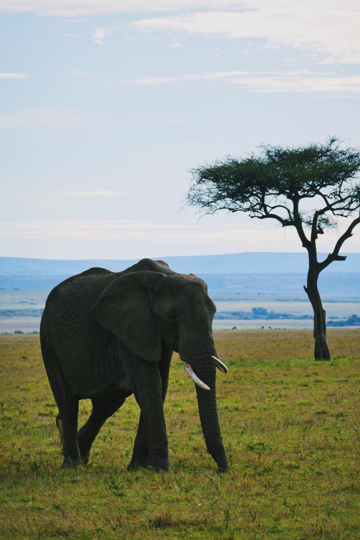 afrikannorsu Kenian Masai Marassa