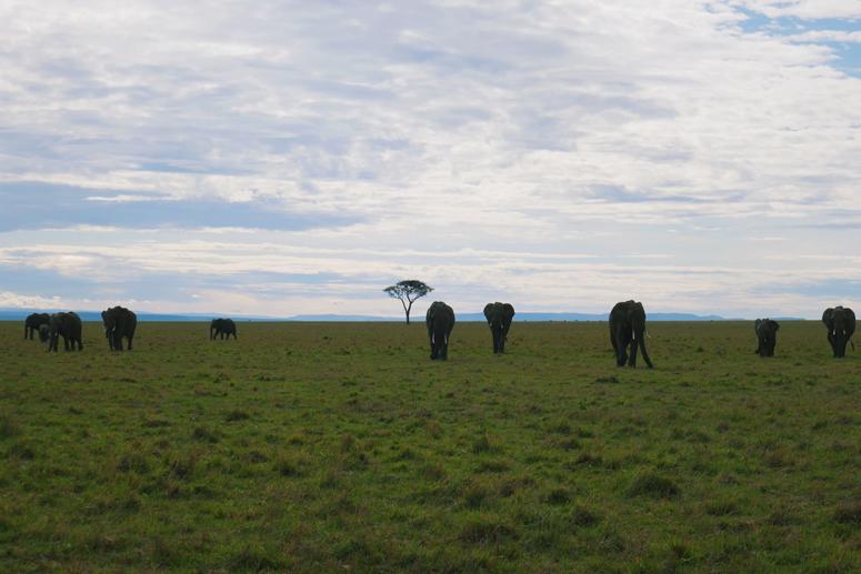 Norsulauma tulee kohti Masai Marassa