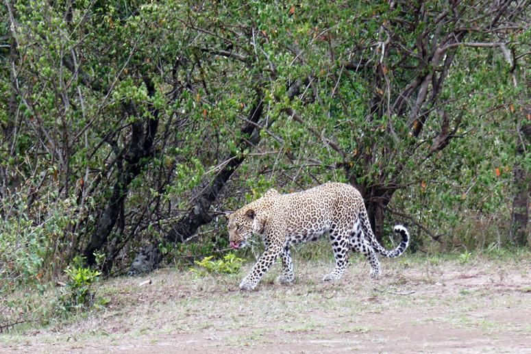 leopardi Masai Marassa