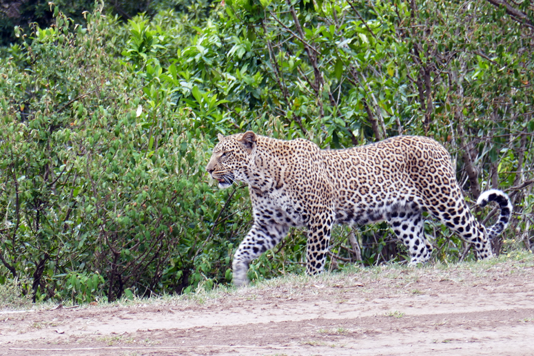 leopardinaaras Masai Marassa