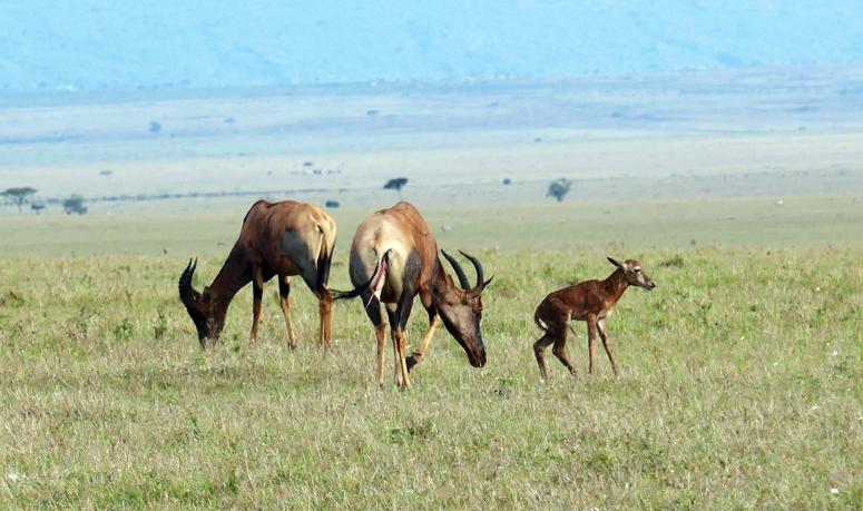 Topiantilooppi synnytti vasan Masai Marassa