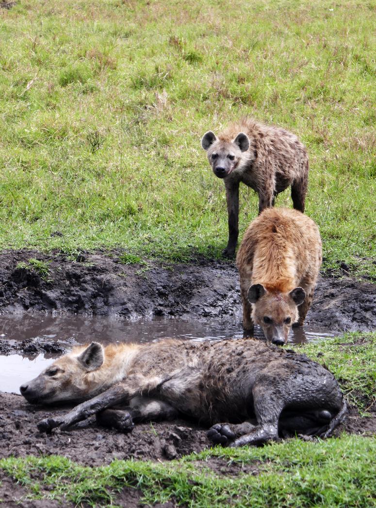 hyeenat mutakylvyssä Masai Marassa