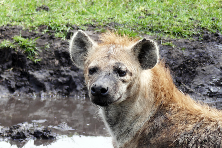 hyeena Masai Marassa