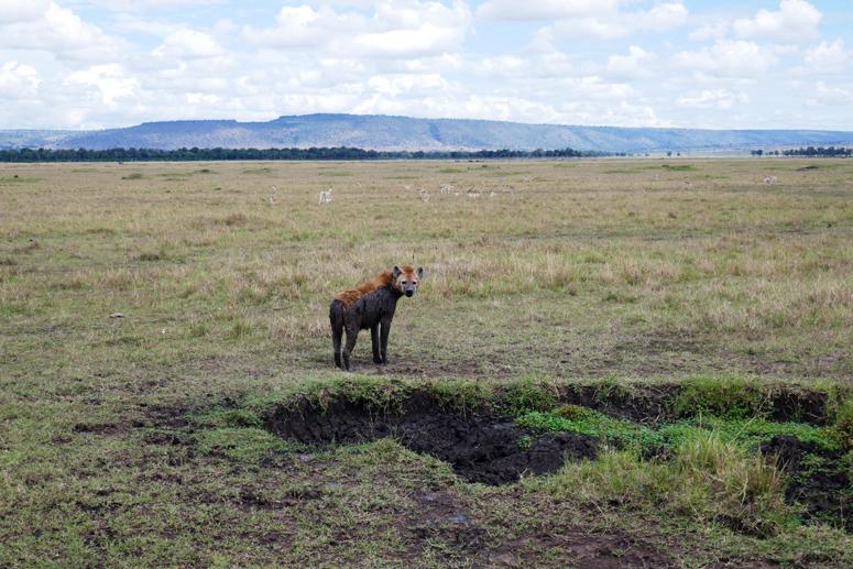 täplähyeena Masai Marassa Keniassa