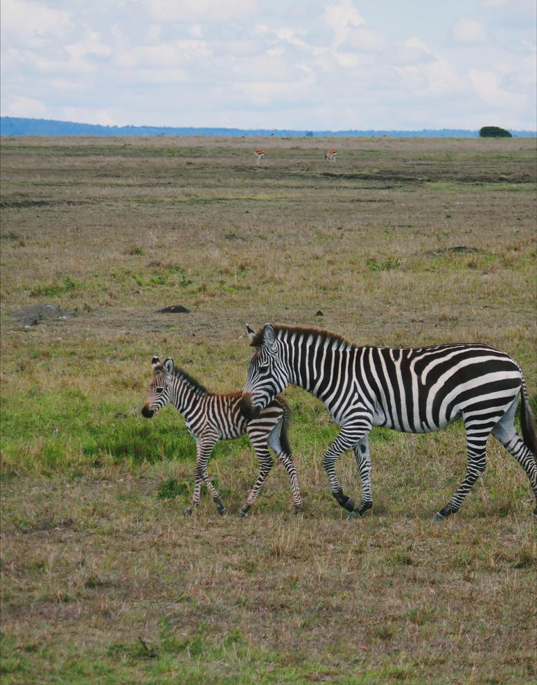 seepraemä ja -vasa Masai Marassa