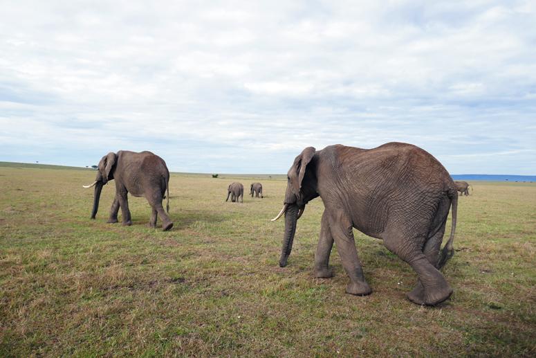 norsulauma kävelee Masai Marassa