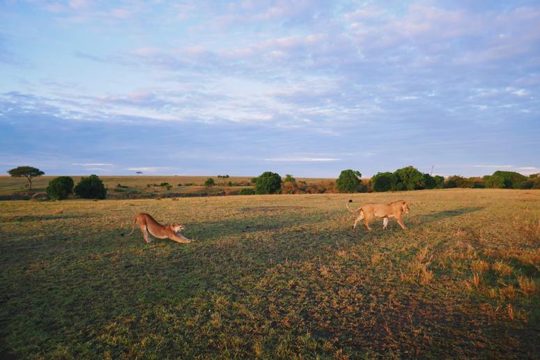 Leijona venyttelee Masai Marassa