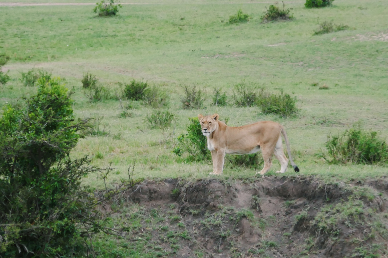 naarasleijona joen varrella Masai Marassa