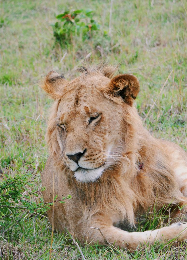 urosleijona safarilla Kenian Masai Marassa
