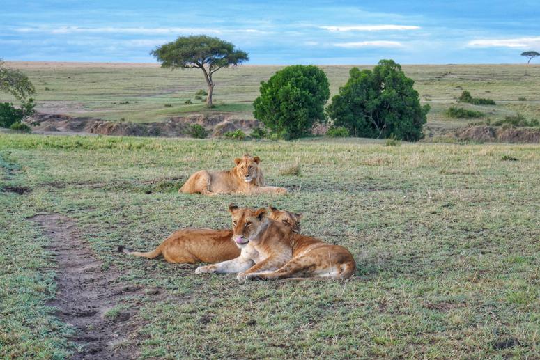 leijonia Masai Marassa