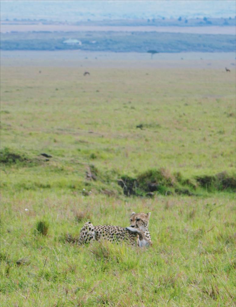 gepardi ja sen saalis Masai Marassa