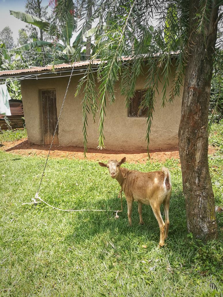vuohi Keniassa