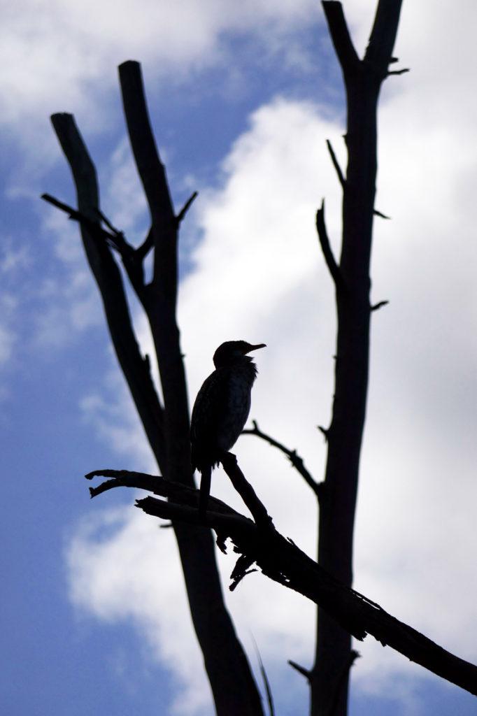 lintu kuolleellan puulla Naivashan järvellä