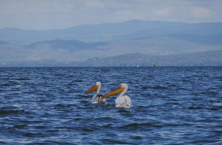 kaksi pelikaania Naivashan järvellä